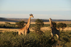 Giraffes in Northwest, South Africa. Landscape photo of giraffes. Blue sky. The South African giraffe or Cape giraffe (Giraffa camelopardalis giraffa) is a royalty free stock photo