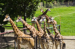 Giraffes,  Olomouc Zoo Royalty Free Stock Photo