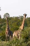 Giraffes On The Guard Stock Photography