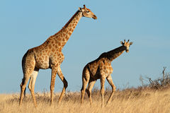 Giraffes in open grassland Royalty Free Stock Images