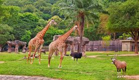 Giraffes, ostrich and an Oryx at an open zoo in Thailand royalty free stock image