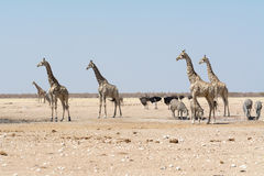 Giraffes and other animals at waterhole Royalty Free Stock Photo