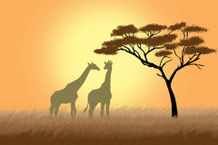 Giraffes over sunrise near acacia Stock Photos