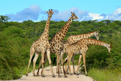 Giraffes overcrowding,Namibia Royalty Free Stock Image