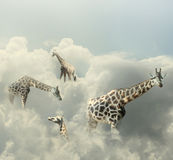 Giraffes Paradise Royalty Free Stock Photography