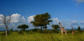 giraffes Parque nacional de Mikumi, Tanzânia Fotos de Stock Royalty Free