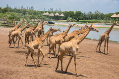 Giraffes photographed in Safari World park in Bangkok Stock Photography