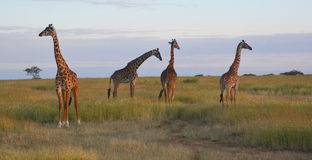 Giraffes on the plains in Africa. In a game reserve in Kenya Stock Photography