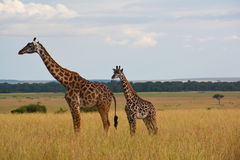 Giraffes on the plains in Africa. Giraffes on the tall yellow grass plains in Africa. Mother and baby. In a game reserve in Kenya Royalty Free Stock Images