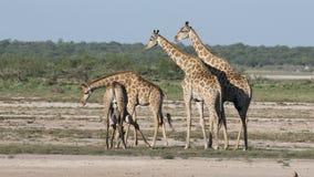 Giraffes on plains of Etosha National Park stock video