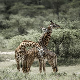 Giraffes playing in Serengeti National Park. Africa Royalty Free Stock Images
