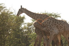 Giraffes playing together. The 3 giraffes was on a dirt road near Satara in the Kruger Nat Park Stock Images
