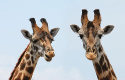 Giraffes portrait. Close up of a giraffes Stock Images