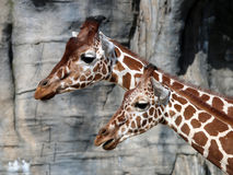 Giraffes. Portrait of giraffes in front of a rocky background Stock Photos