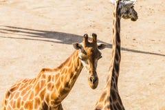 Giraffes portrait in nature Stock Photos