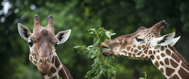 Giraffes Royalty Free Stock Images