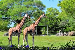 Giraffes Posing Stock Photos