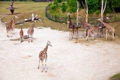 Giraffes in Prague Zoo Stock Photos