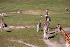 Giraffes in Prague. Giraffes in the zoo of Prague Czech Royalty Free Stock Photos