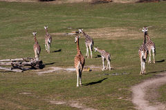 Giraffes in Prague Stock Photo