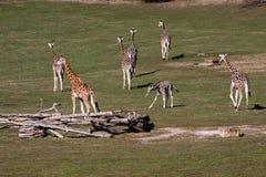 Giraffes in Prague Stock Image