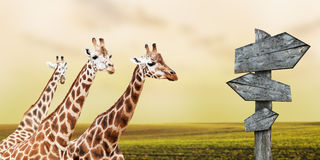 Giraffes in prairie. Group of giraffes lost in prairies, concept of travelling Stock Photo
