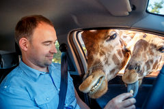 Giraffes put heads in car and waiting food from tourist Stock Images