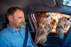 Giraffes put heads in car and waiting food from tourist Royalty Free Stock Image