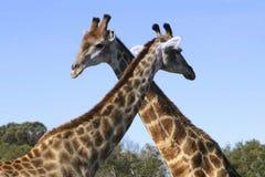 Giraffes que cruzam as gargantas Fotografia de Stock