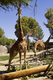 Giraffes at Reid Park Zoo, Tucson, Arizona Stock Photos