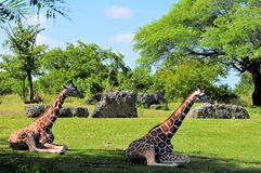 Giraffes Resting Stock Photography