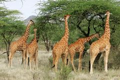 giraffes reticulate Photographie stock libre de droits