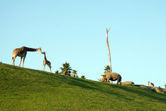 Giraffes and rhino. Eating at dusk Stock Photos