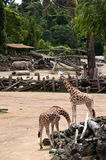 Giraffes and rhinos Royalty Free Stock Photo