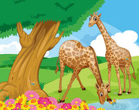 Giraffes at the riverbank Stock Photography