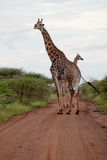 Giraffes on the road Royalty Free Stock Photos