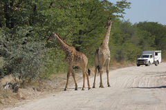 Giraffes on the road Stock Images