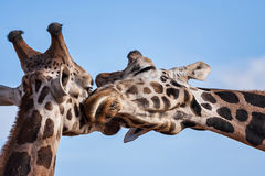 Giraffes romantic nuzzle Royalty Free Stock Photo