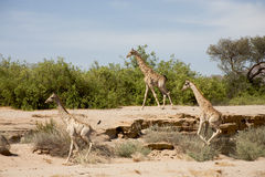 Giraffes running Stock Images