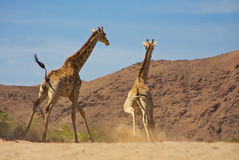 Giraffes running Royalty Free Stock Image