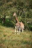 Giraffes running if field on sunny day Giraffa Camelopardalis Stock Photo