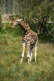 Giraffes running if field on sunny day Giraffa Camelopardalis Stock Image