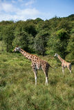 Giraffes running if field on sunny day Giraffa Camelopardalis Stock Images