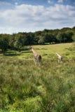 Giraffes running if field on sunny day Giraffa Camelopardalis Stock Photography
