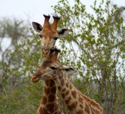 Giraffes`s couple closed together. In a sweet way in the Savanna Stock Images