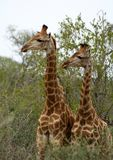Giraffes`s couple looking in the same direction. In a funny way in the Savanna Royalty Free Stock Photography