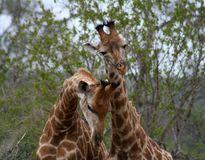 Giraffes`s couple playing together. In a funny sweet way in the Savanna Stock Photography