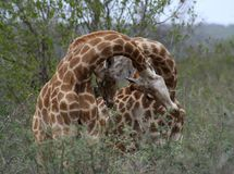 Giraffes`s playing together in a funny way. Giraffes`s couple playing together in a funny way in the Savanna Stock Photos