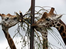 Giraffes at a Safari Park Stock Photography