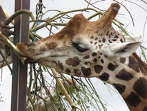 Giraffes at a Safari Park Royalty Free Stock Photography